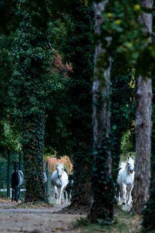 Die Pferde des Gestüts Lipicia, das zu den ältesten Europas zählt, galoppieren jeden Morgen von ihren ...