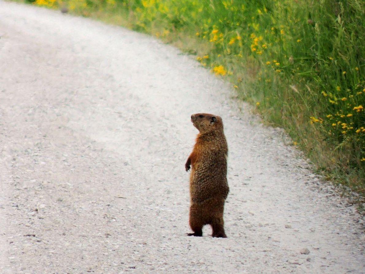 Furchtlos steht dieses Murmeltier auf einer Straße und verschafft sich einen Überblick.
