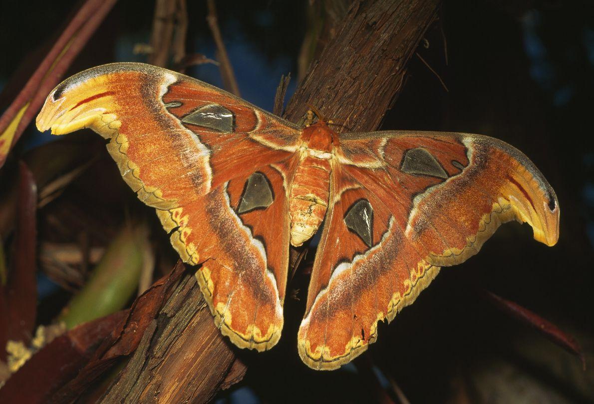Der Atlasspinner, Attacus atlas, ist in Südostasien, dem südlichen China und Indien heimisch. Mit einer Flügelspanne ...
