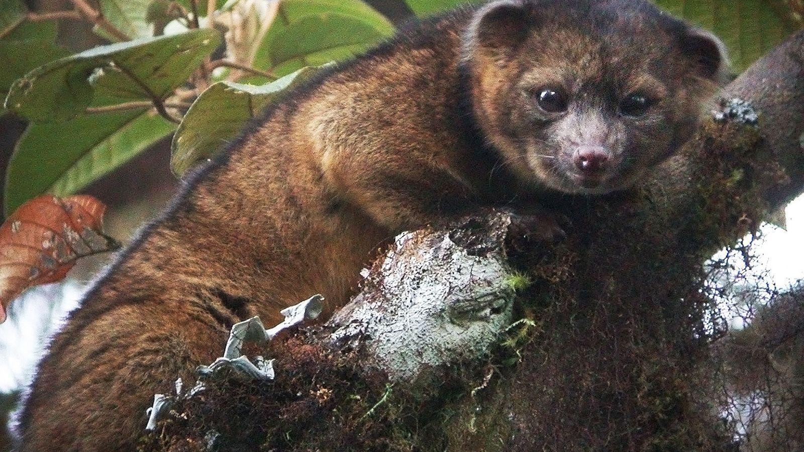 Bassaricyon neblina New Carnivorous Mammal