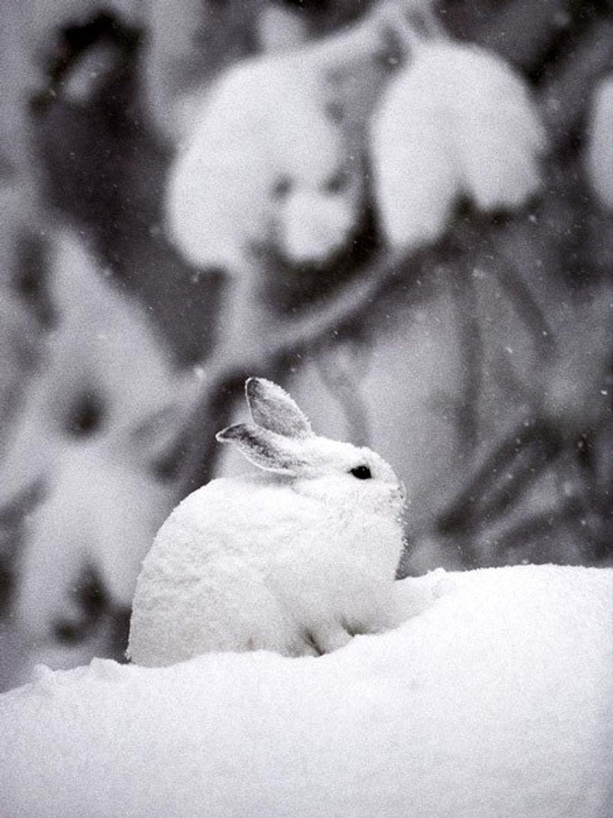 Schneeschuhhasen haben besonders große Füße und ein weißes Winterfell. Der Wechsel zum komplett braunen Sommerfell nimmt ...