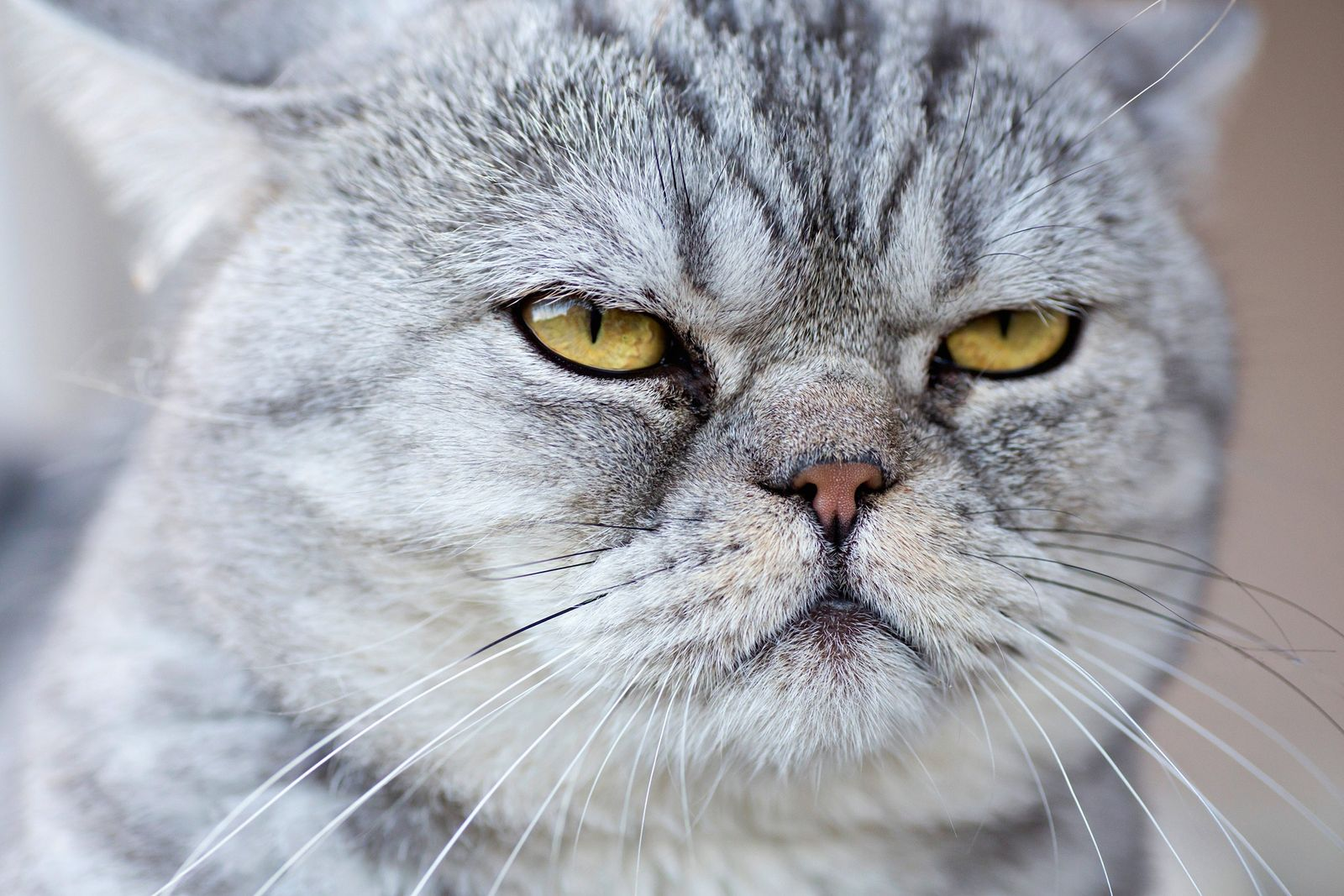 Foto einer grauen Hauskatze