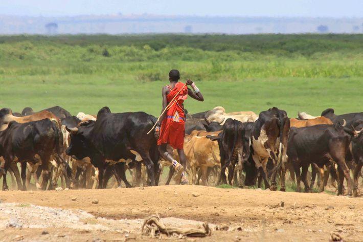 Ein Massai-Hirte bringt seine Rinder zum Trinken an den Rand eines Sumpfgebiets im Amboseli-Nationalpark in Kenia.