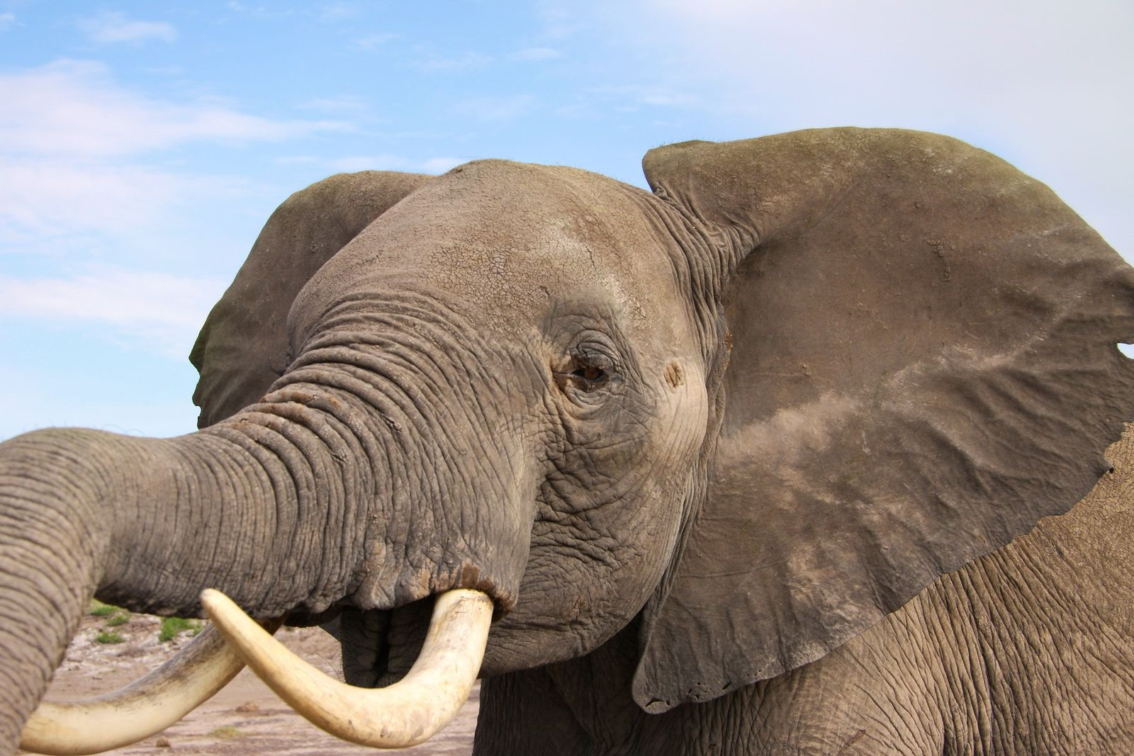 Eine Elefantenkuh im Amboseli-Nationalpark in Kenia. Mit aufgeklappten Ohren und erhobenem Rüssel signalisiert sie Alarmbereitschaft.