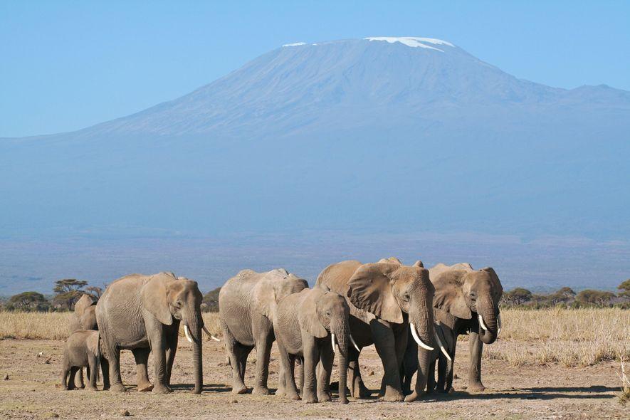 Eine Herde Elefanten in Abwehrhaltung. Die Leitkuh führt die Gruppe an.
