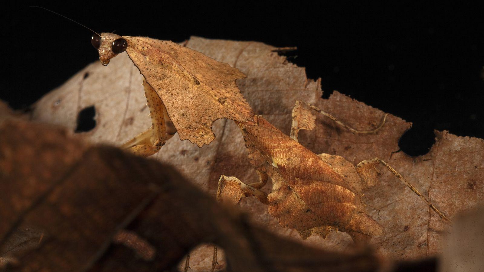 Bild einer Pfeilköpfigen Laubfangschrecke in Laubhaufen
