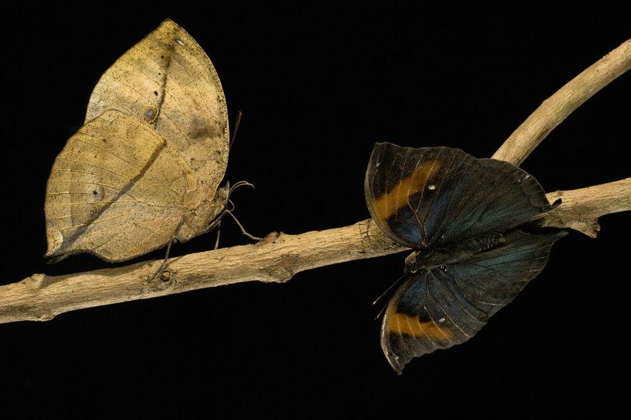 Meister der Verkleidung – Verblüffende Insektentarnung