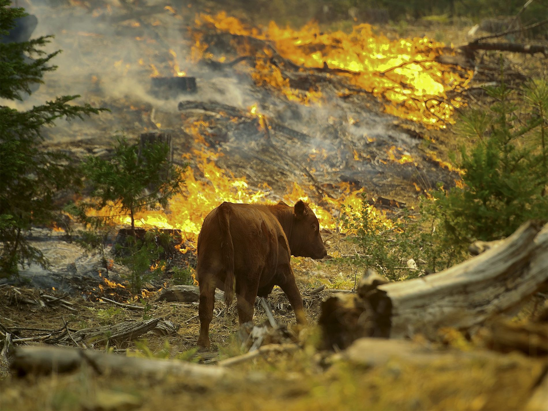 Eine Kuh bei einem Waldbrand im Yosemite-Nationalpark