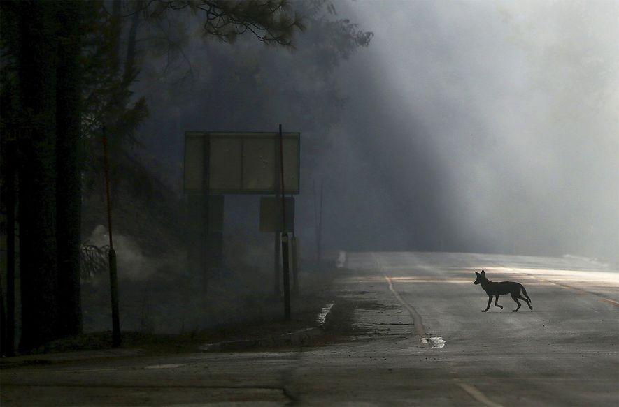 Kojote in Kalifornien, Highway wegen Brand gesperrt