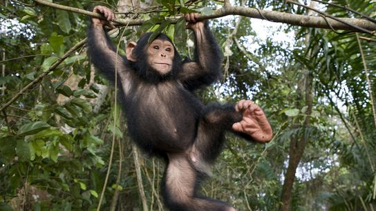 chimp brain brawn 01