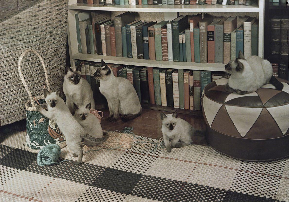 Siamesische Katzen