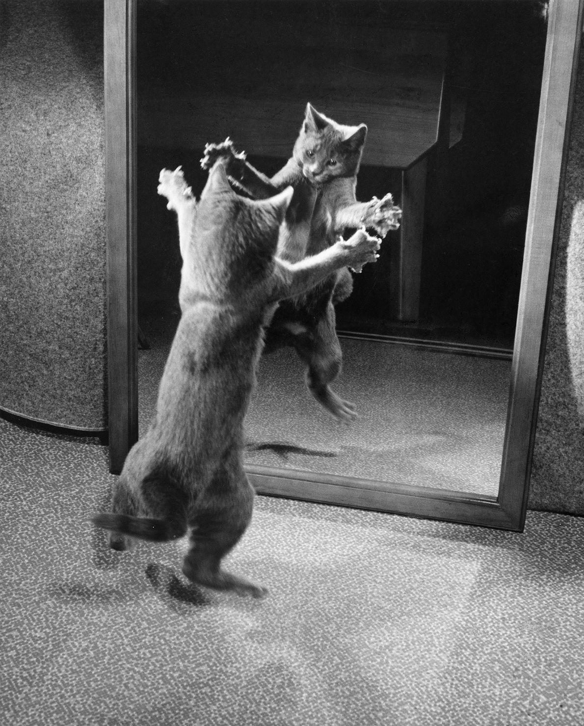 Eine Katze greift ihre Reflexion in einem Spiegel an. Die Aufnahme von National Geographic stammt aus ...