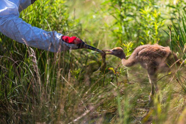 Ein Mensch mit einer Kranichhandpuppe füttert einen Jungvogel.