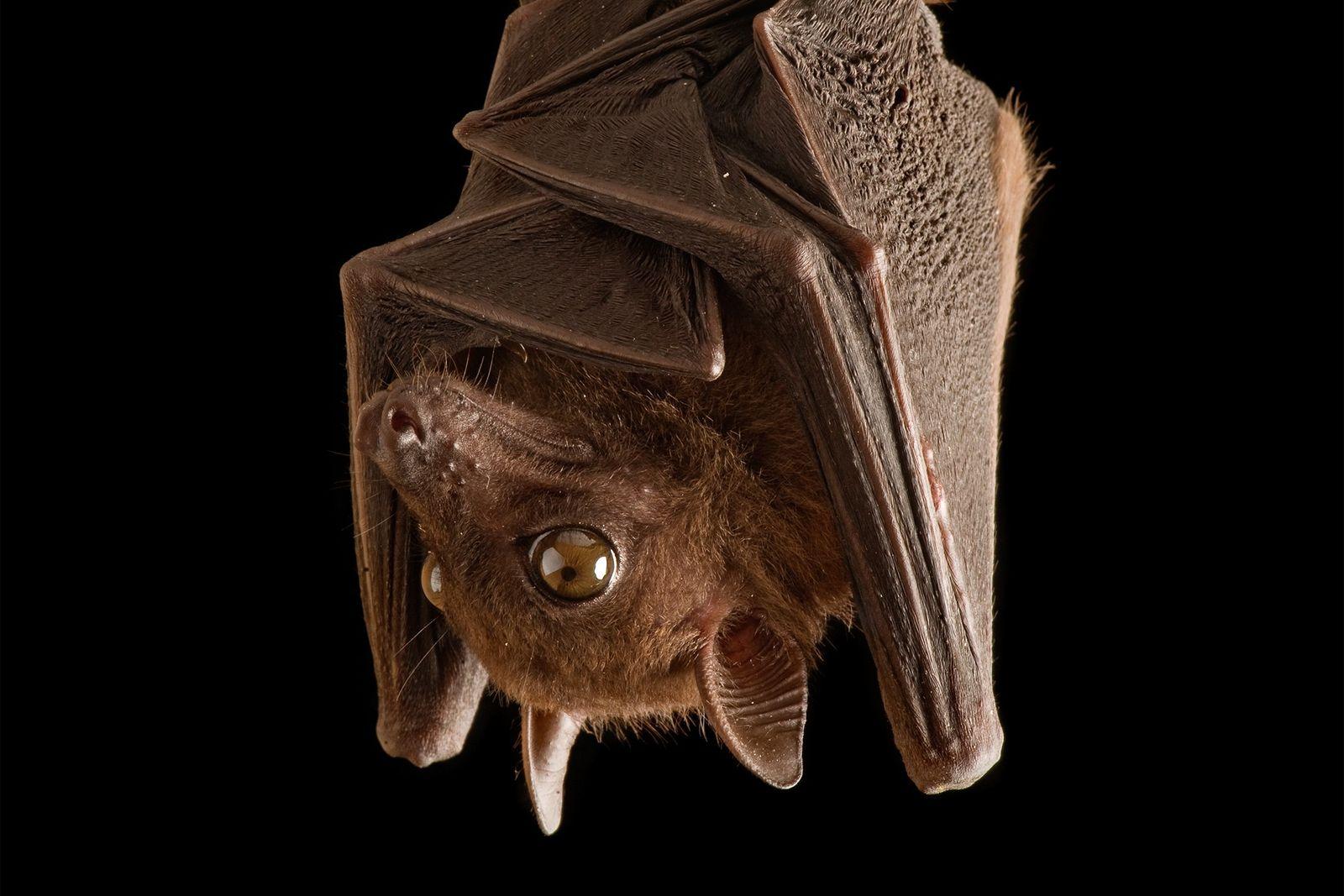 6 Irrtümer über Fledermäuse