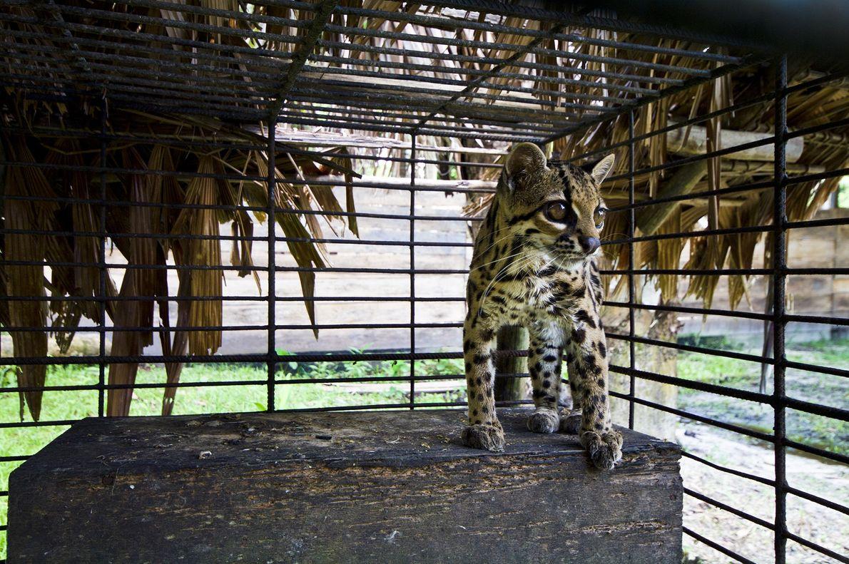 Tigerkatze (Ozelot)