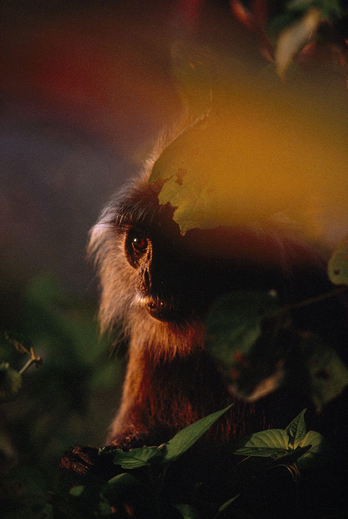 Nach wochenlangem Regen dringt auf der Insel Borneo wertvolles Licht bei Sonnenuntergang durch die Bäume und ...