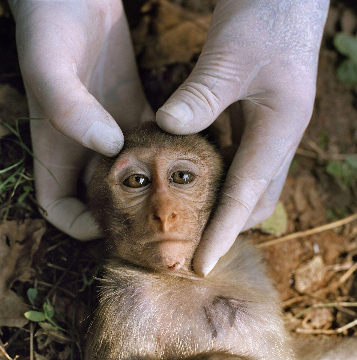 Ein betäubter, junger Rhesusaffe wird in Dhamrai, Bangladesch, von einem Wissenschaftler untersucht.