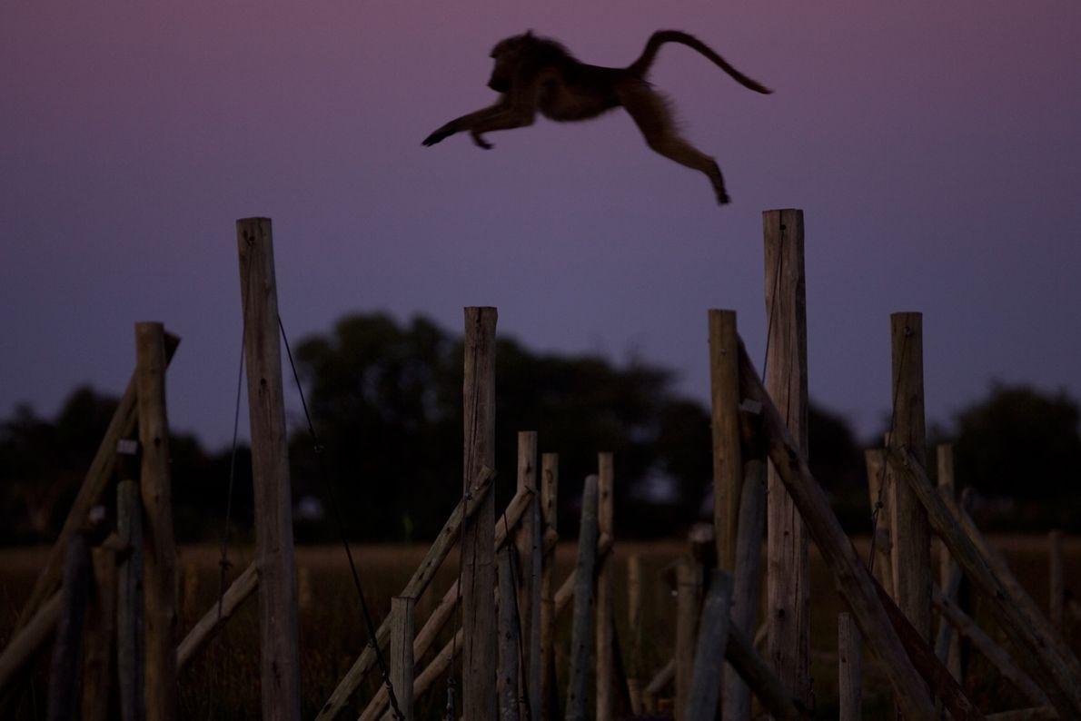 Dieser Bärenpavian wagt einen weiten Sprung in der Dämmerung eines Safaricamps in Duba Plains, Botswana.
