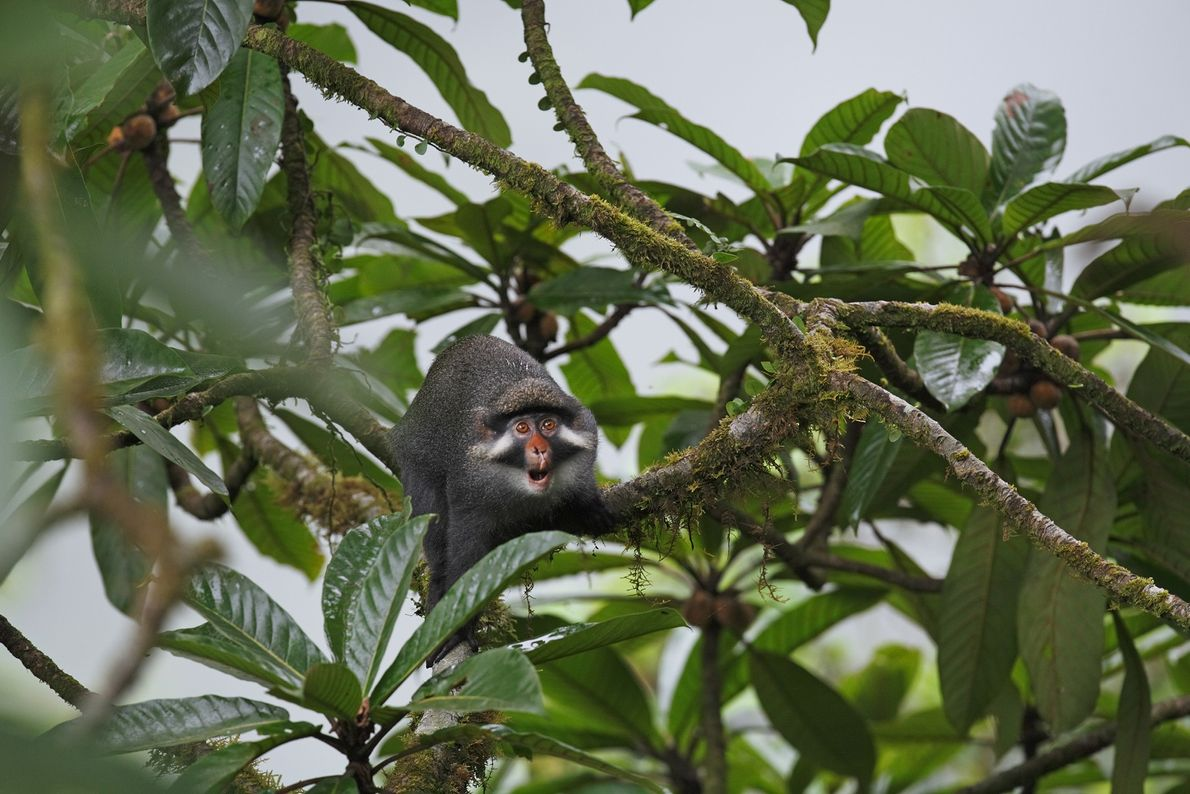 Eine Rotnasenmeerkatze zwischen Ästen auf der Insel Bioko in Guinea. Diese intellektuell aussehende Affenart ist scheu ...