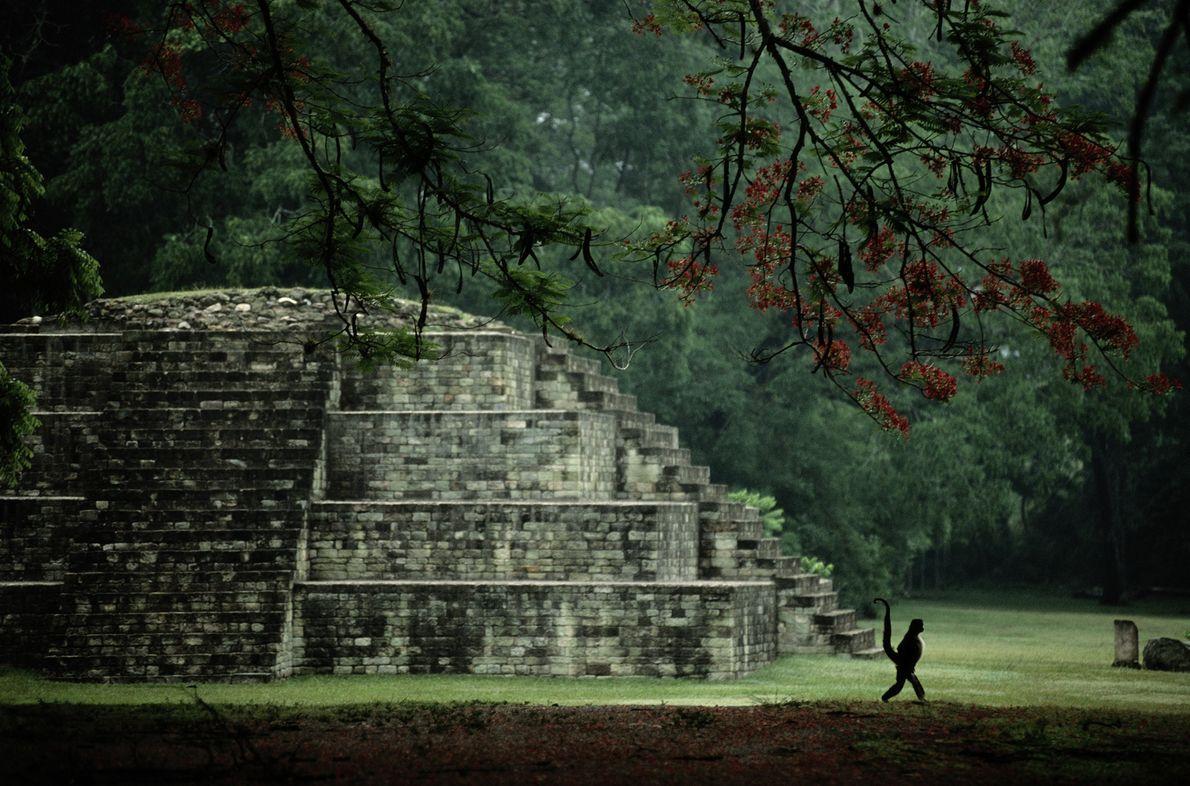Ein Klammeraffe schlendert mit hoch erhobenem Greifschwanz an einer kleinen Pyramide in Copán, Honduras, vorbei. Hier ...
