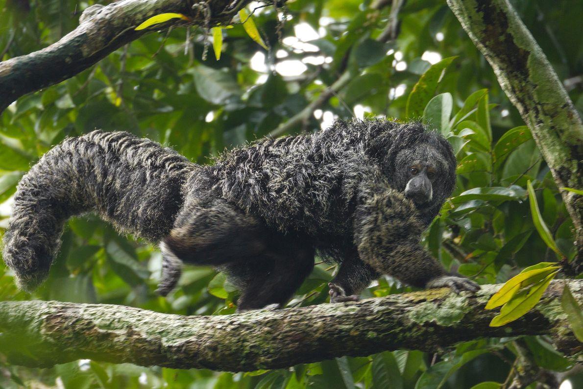 Ein Äquatorial-Saki schaut nach unten, während er sich im Nationalpark Yasuní seinen Weg durch die Äste ...