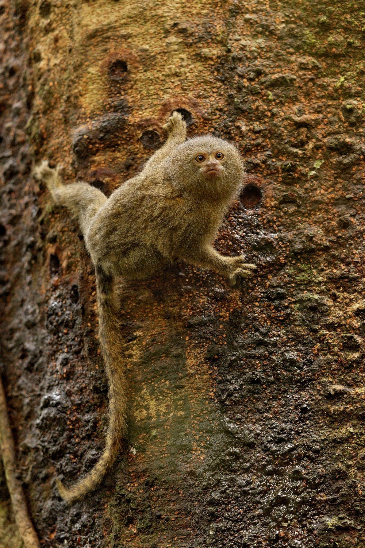 Ein Zwergseidenäffchen wiegt nur etwas über Einhundert Gramm. Dieser Affe frisst gerade Baumsaft im Nationalpark Yasuní ...