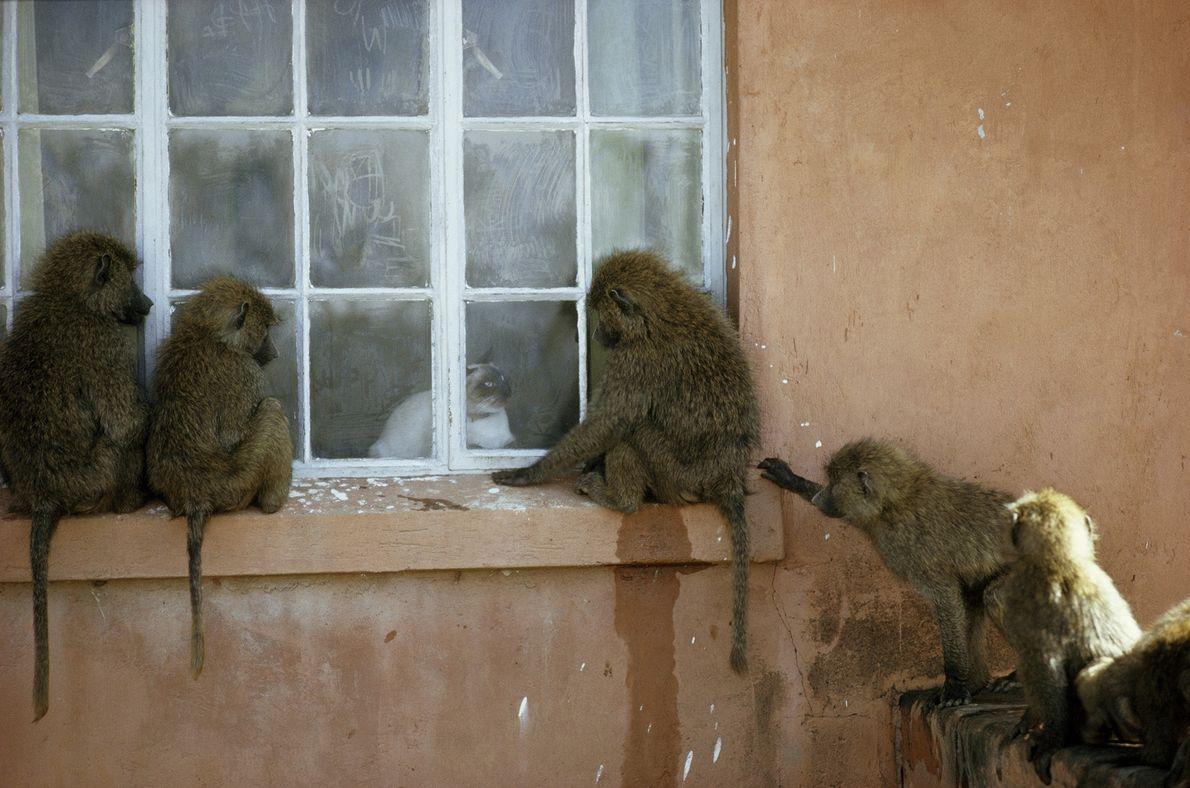 Eine Gruppe Grüner Paviane, auch bekannt als Anubispaviane, haben sich versammelt, um in Gilgil, Kenia, eine ...