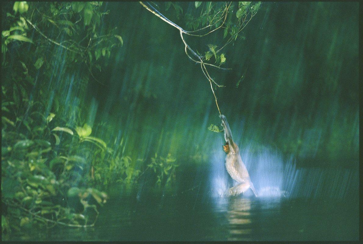 Mitten im malaysischen Dschungel von Borneo spielt ein Nasenaffe im Wasser, indem er sich von Ästen ...