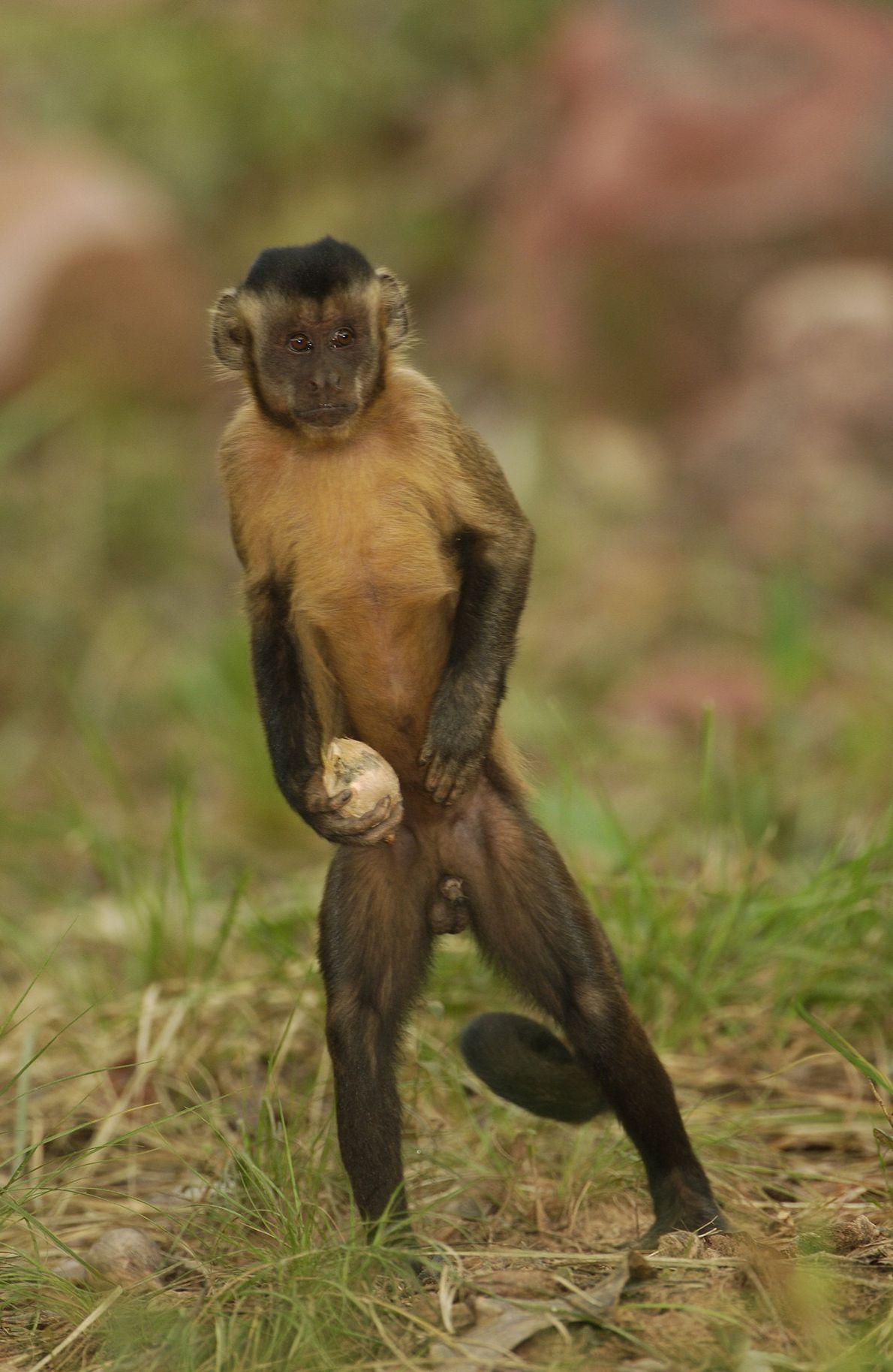 Ein brauner Kapuzineraffe trägt eine Nuss der attalea funifera auf der Suche nach einem Stein, mit ...