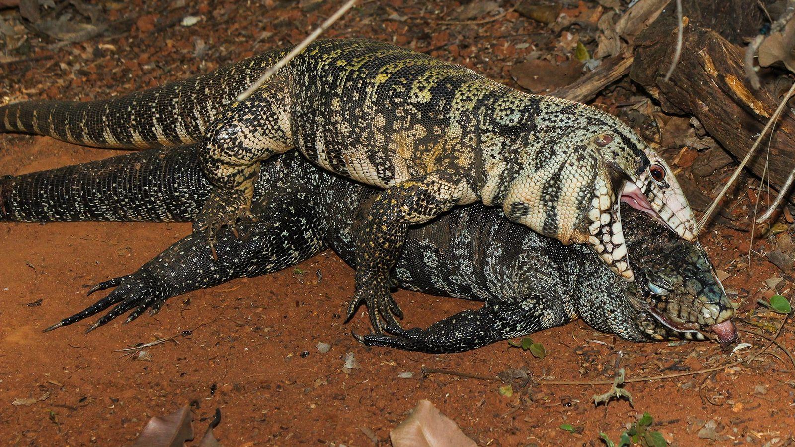 Ein männlicher Schwarzweißer Teju öffnet das Maul und versucht, sich mit einem Weibchen zu paaren, das ...