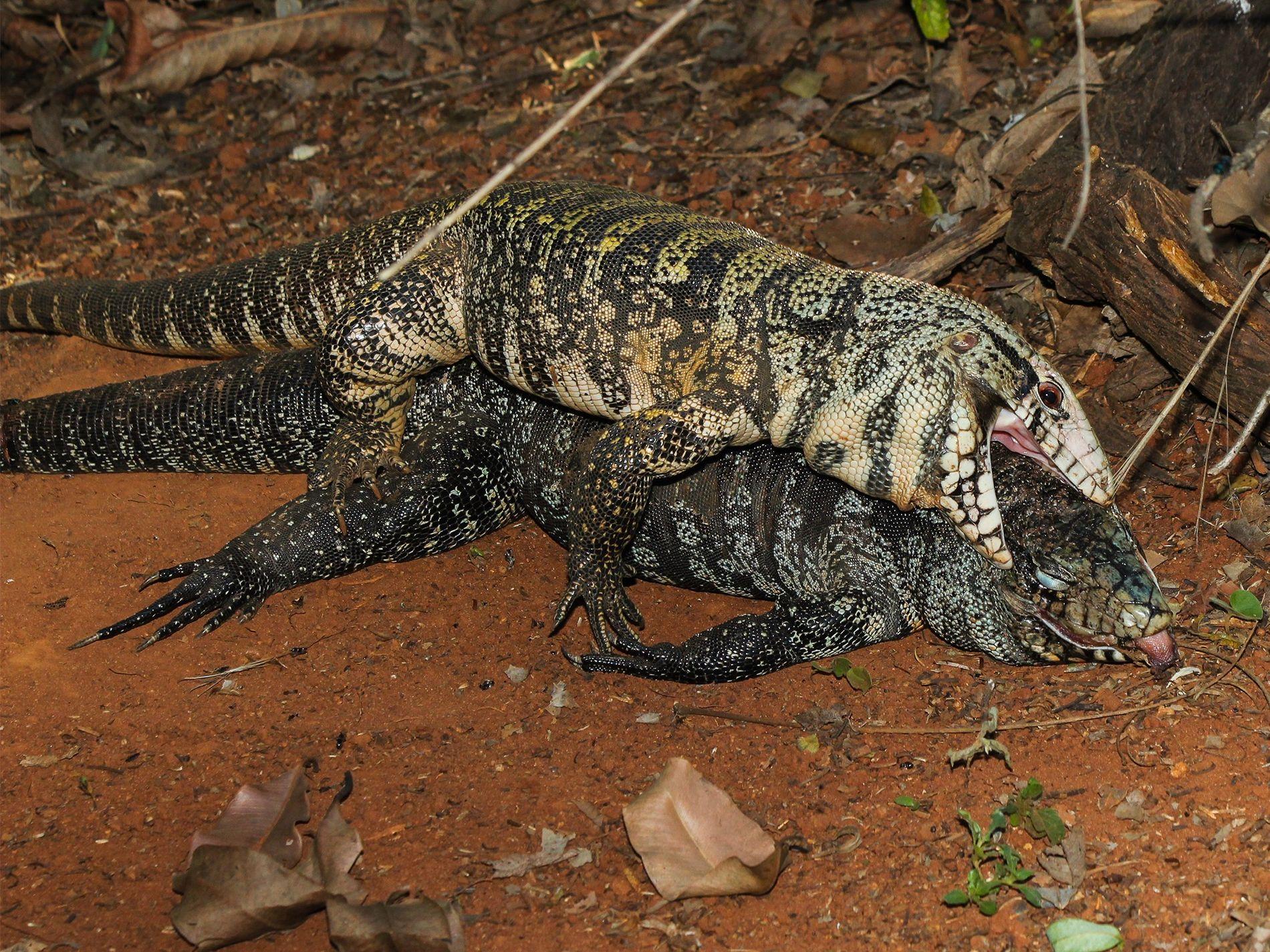 Ein männlicher Schwarzweißer Teju öffnet das Maul und versucht, sich mit einem Weibchen zu paaren, das seit zwei Tagen tot ist.