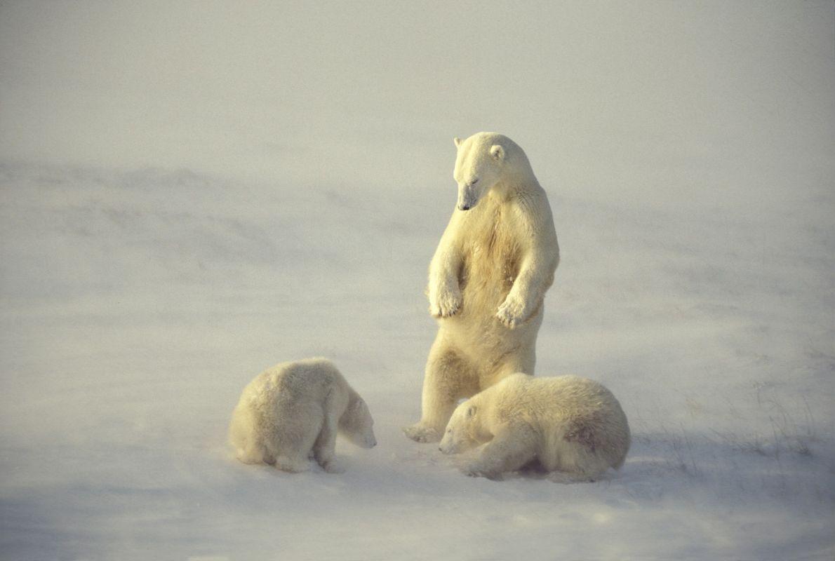Ein Eisbär beobachtet seine Jungen an der Hudson Bay in Manitoba, Kanada. Die Bucht ist für …