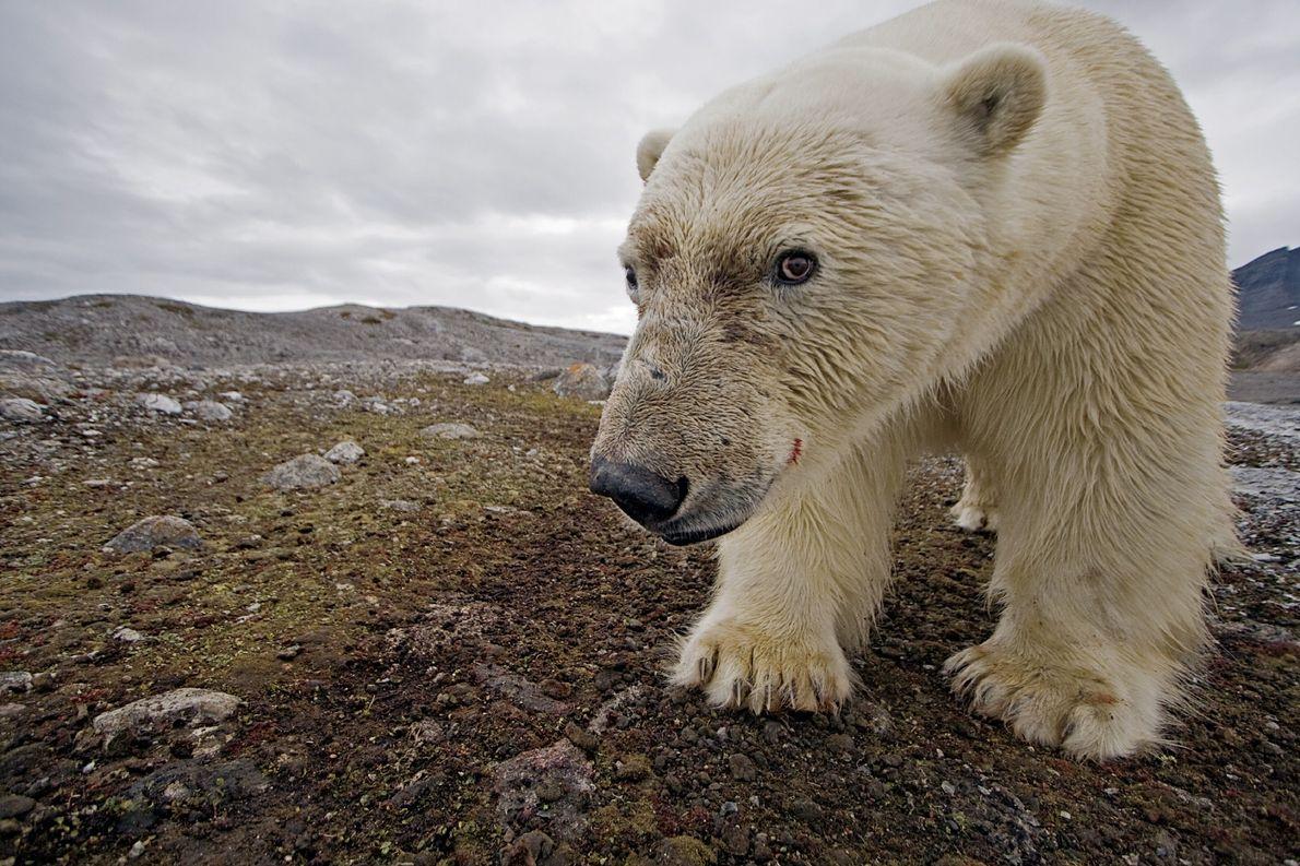 Dank einer Kamerafalle machte ein Eisbär unbeabsichtigt ein Selbstporträt auf Spitzbergen.