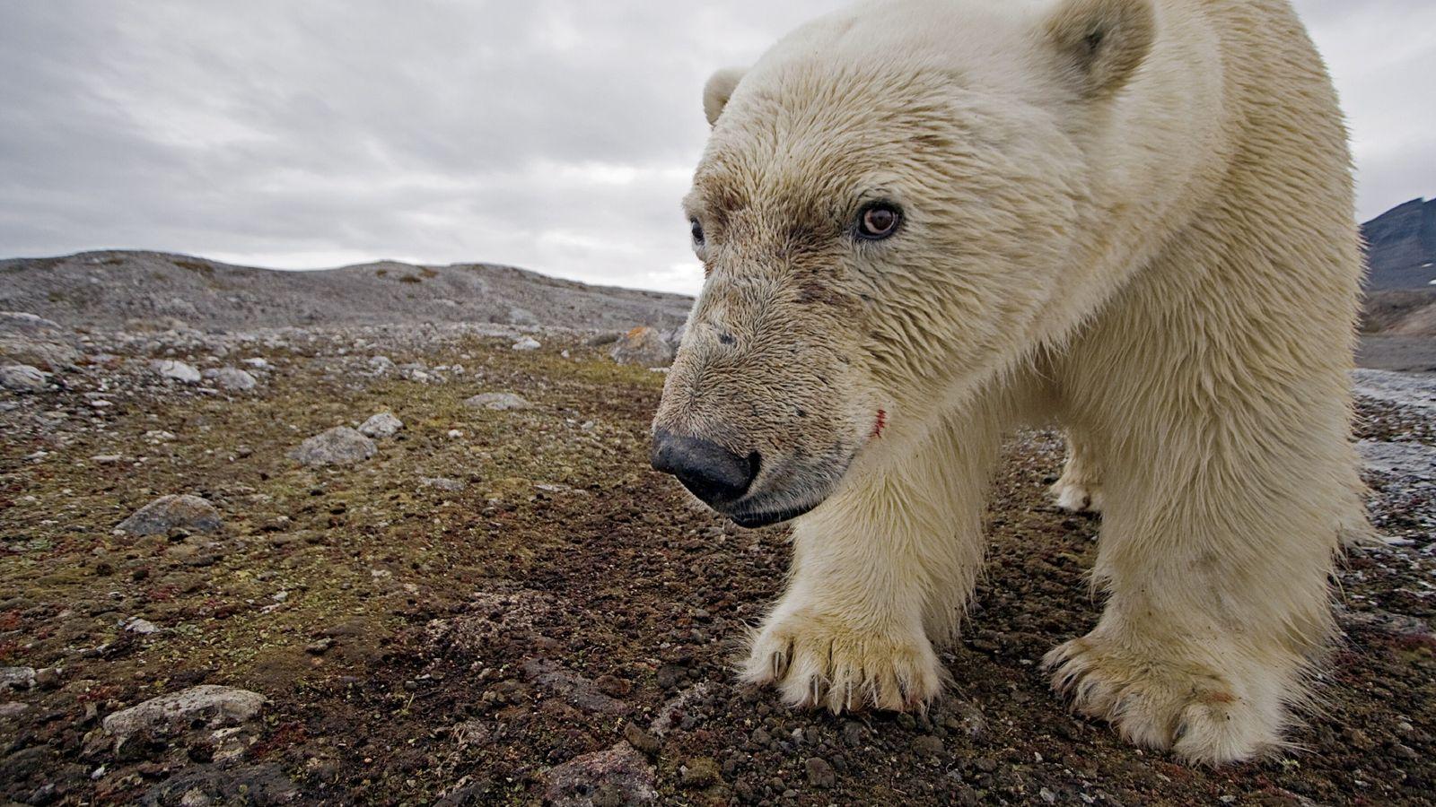 Eisbär Selfie
