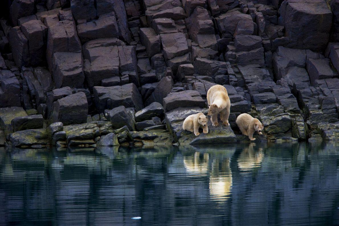 Eine Eisbärin und ihre Jungen sitzen an einer eisfreien Küste auf Spitzbergen fest.