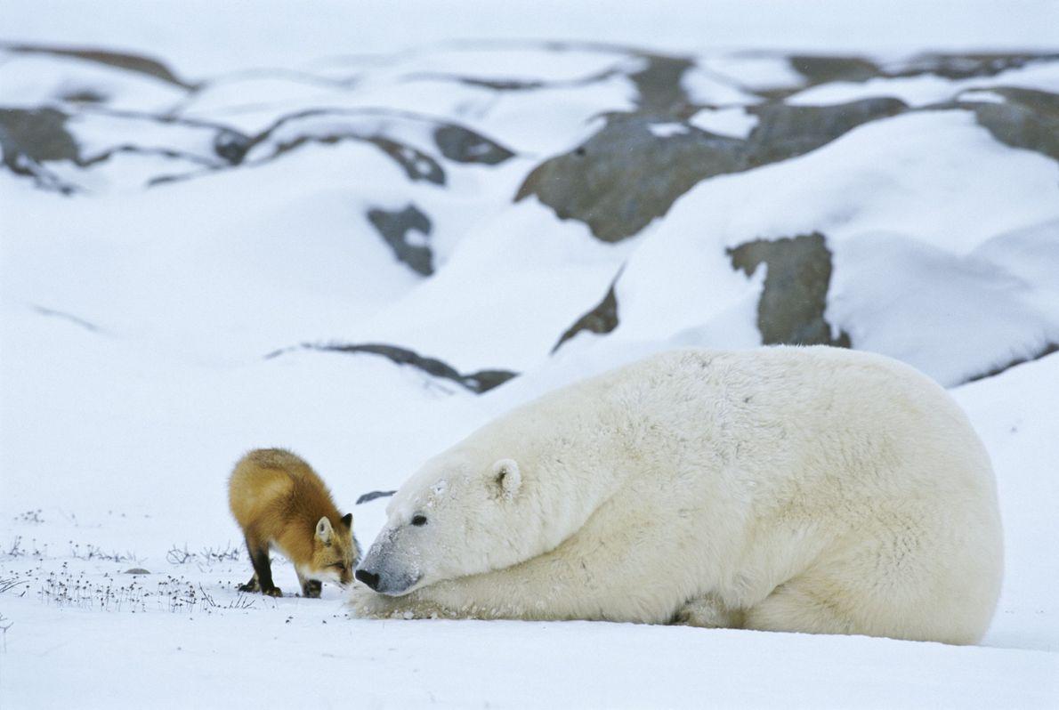 In der Hudson Bay in Manitoba geht ein Rotfuchs mit einem Eisbären auf Tuchfühlung.