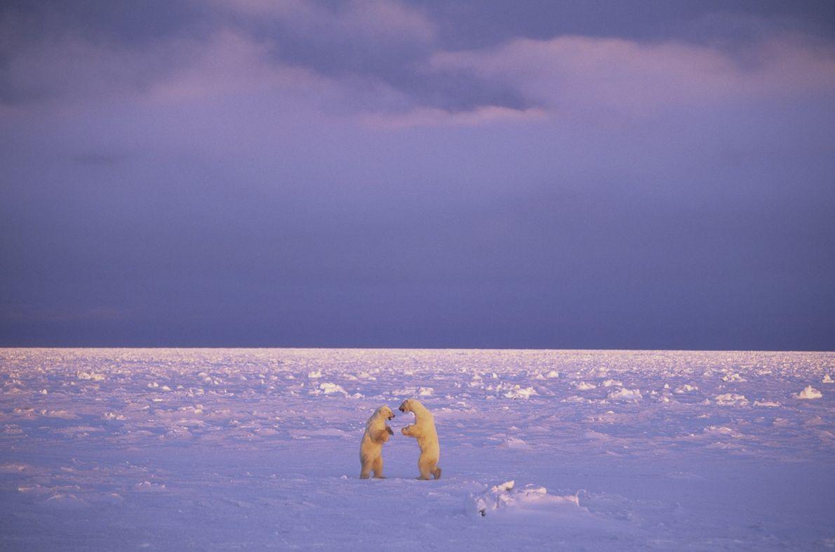 Eisbärenkampf