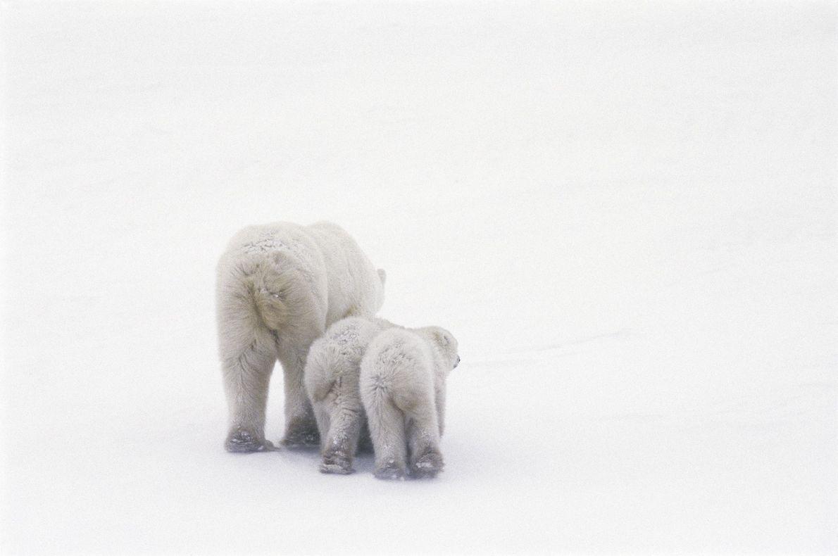 Eisbär in Maitoba