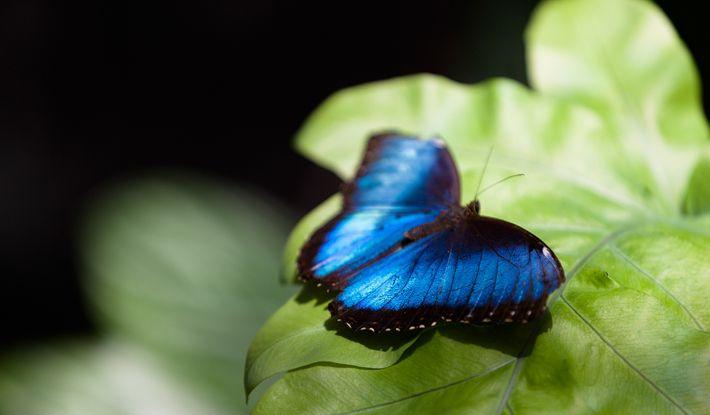 Mit ihrer leuchtend blauen Farbe kommunizieren die Schmetterlinge untereinander.