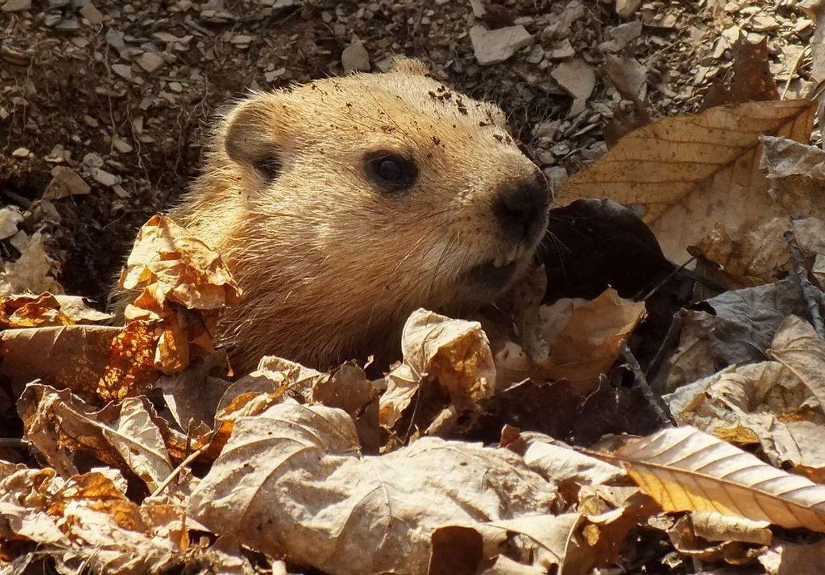 Der nahende Frühling lockt die Murmeltiere für eine kurze Winterschlafpause aus ihrem Bau.
