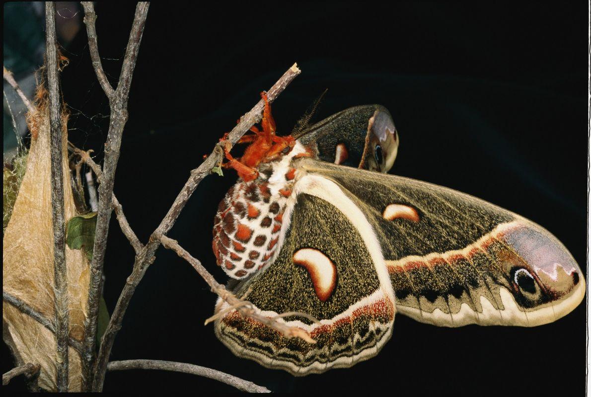 Nach dem Schlüpfen aus seinem Kokon (links) lässt dieser weibliche Falter Hyalophora cecropia seine Flügel trocknen. ...