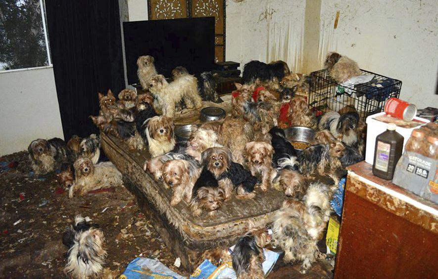 Verwahrloste Hunde aus einem Hoarding-Fall: Krankhaftes Tieresammeln ist oft mit großem Leid verbunden.