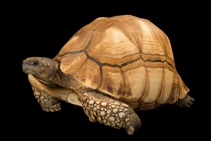 Status: Critically EndangeredWhile protected by law in Madagascar, the critically endangered ploughshare tortoise (Astrochelys yniphora) sometimes ...