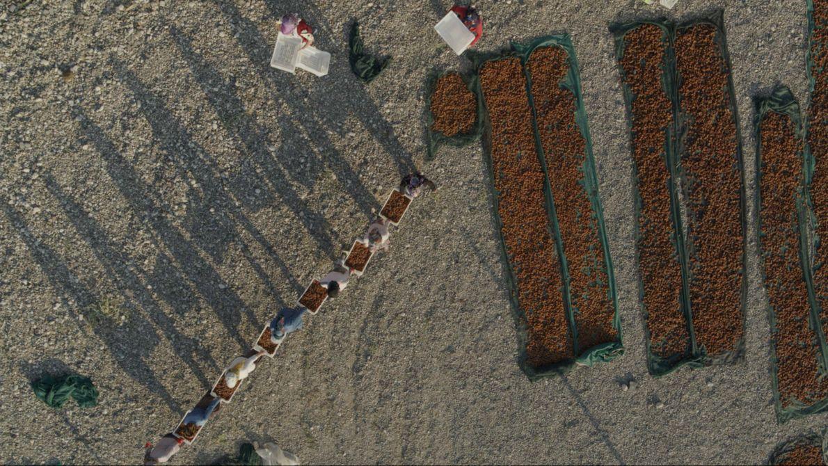 Türkei: Arbeiter tragen während der Ernte täglich bis zu drei Tonnen Aprikosen aus den Hainen von ...