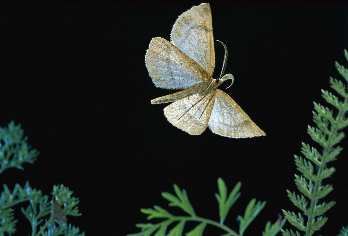 Ein Falter der Art Macaria occiduuaria im Mt. Hood National Forest, Oregon. Als Raupe fehlt ihr ...