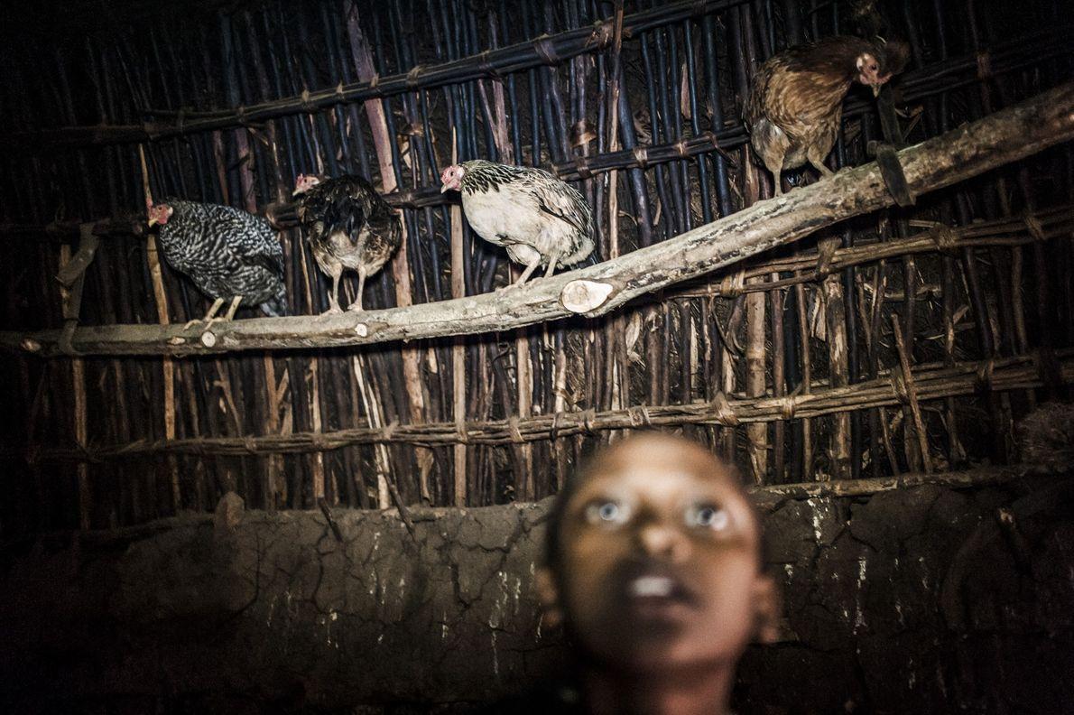 Hennen hocken auf einer Stange