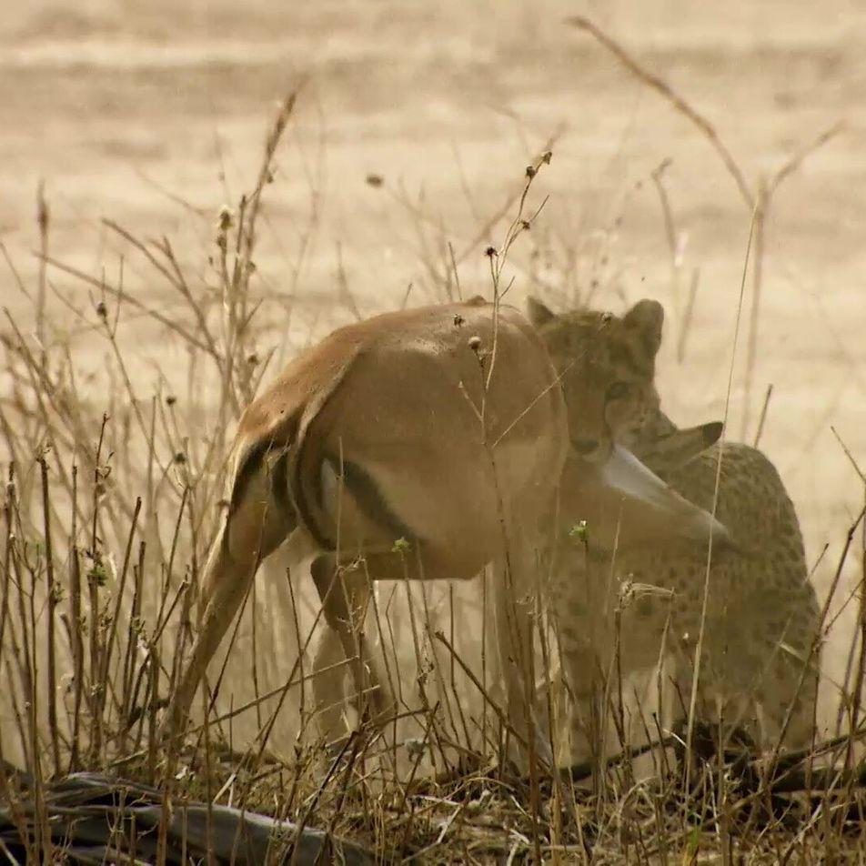 Eine Gepardin wildert im Löwenrevier