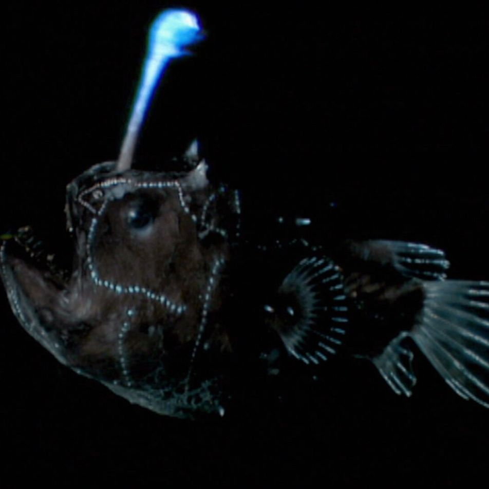 Bis in den Tod vereint: Die seltsame Paarbeziehung der Anglerfische