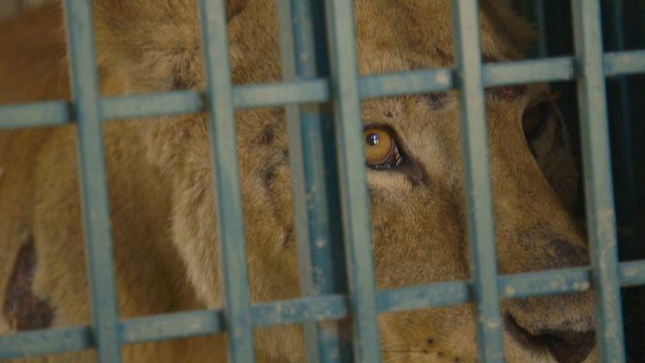 Die Rettung der letzten Zootiere von Aleppo