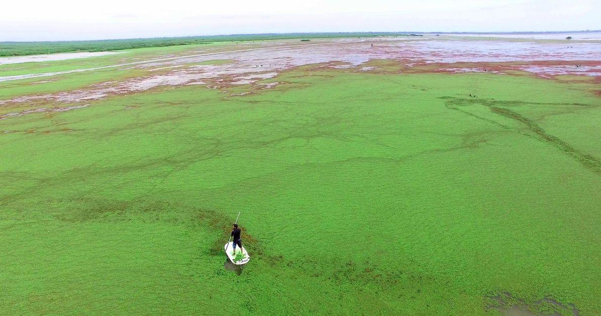 Algenfarne bedecken die Wasseroberfläche. Obwohl der Anblick schön ist, führt die starke Vermehrung der Pflanzen dazu, ...